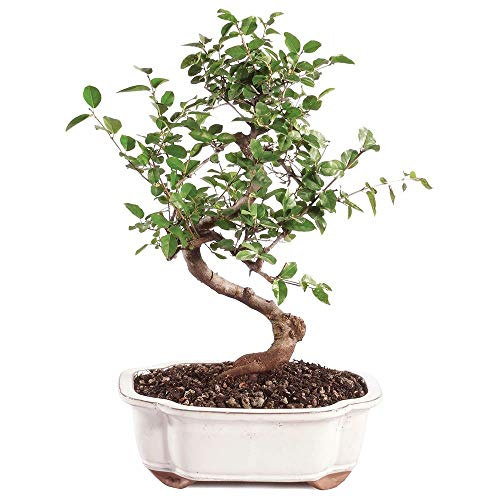 Brussel's Bonsai Live Chinese Sweet Plum Indoor Bonsai Tree-5 Years Old 6' to 10' Tall with Decorative Container, Medium
