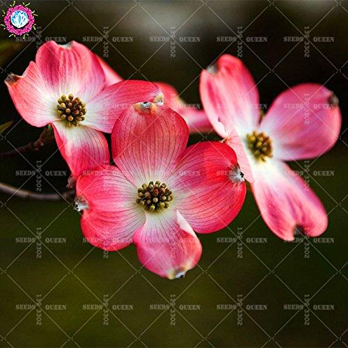 Variété rare! 20 pcs/sac de graines Real kousa cornouiller belles graines de plantes bonsaï maison vivaces en pot et jardin 95% Survivre 2