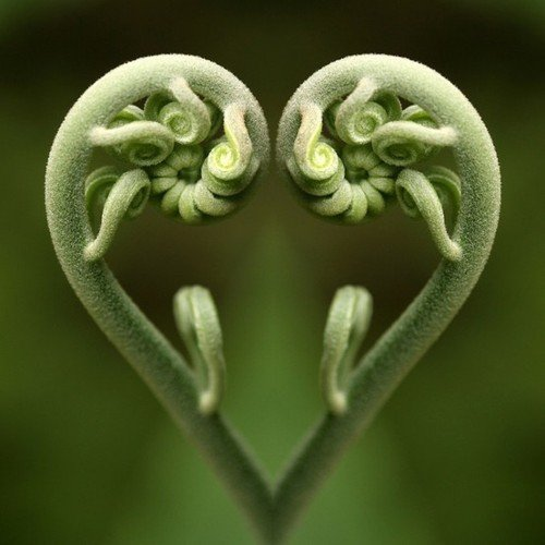 Coeur graines de fleurs de fougère en forme de coeur uniques cour en pot jardin de bonsaïs plantes ornementales pour Flower Pot Planters 50PCS