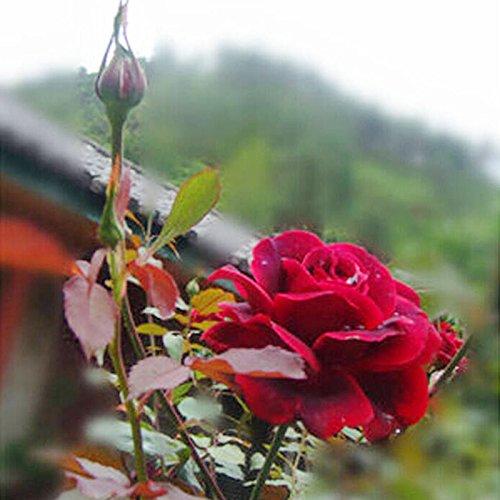 Rosepoem 20 Pcs / 1.55g True Blood Rose Graines Parfumées Facile Cultiver Maison Jardin Des Plantes Graines