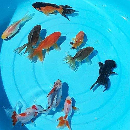 【生体】国産 オタマ金魚 約3cm~6cm前後 (3匹)金魚 生体 ミックス金魚 お玉金魚