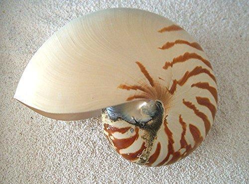 echtes Perlboot Nautilus naturbelassen ca. 12,5-15cm Muschel Schnecke Kopffüsser