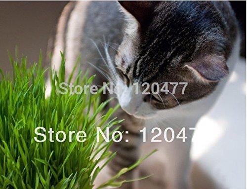 Cat semences de gazon, chatons semences de gazon alimentaires, environ 200 particules