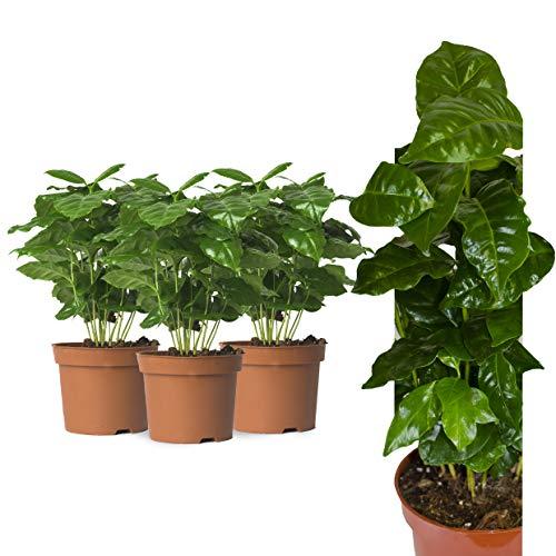 3x Echte Kaffeepflanze coffea arabica ca. 30cm - pflegeleichter Kaffeestrauch zum selber wachsen lassen, immergrüne Zimmerpflanze, Topfpflanze, Kaffee für Liebhaber