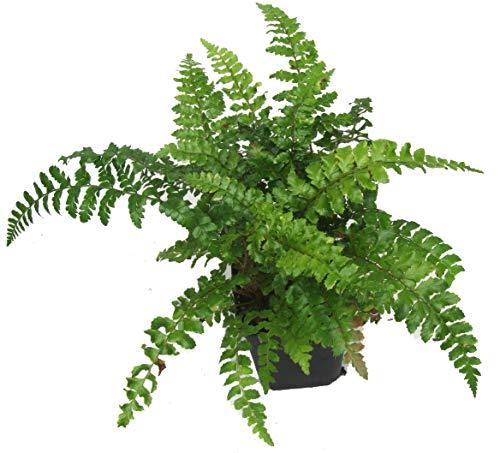 Japanischer Glanzschildfarn - Polystichum polyblepharum- winterharter, immergrüner, Farn 12 cm Topf als Kübelpflanze Balkonpflanze, Schattenpflanze Beetpflanze
