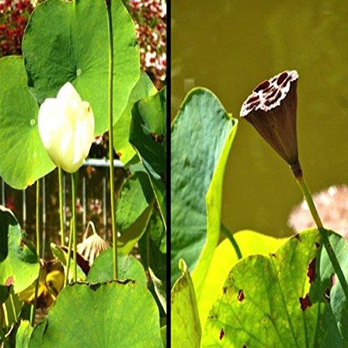 Tropica - Wasserpflanzen - Indische Lotusblume (Nelumbo nucifera ) - 8 Samen