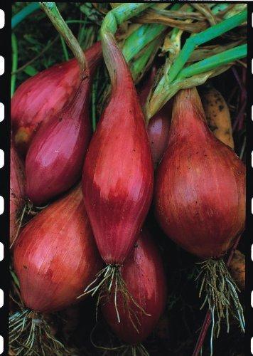Il vous suffit de graines???Oignon???Long Rouge Florence???25?G Seeds???Bulk Lot