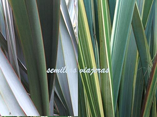 Portal Cool Phormium Tenax Mix, Formio Nouvelle-Zã©Lande Lin 60 graines Graines