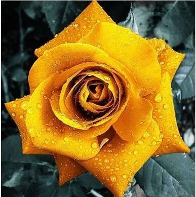 Pots de fleurs jardinières, 20 sortes de 100 graines, Rainbow Rose graines belle rose graines bonsaïs graines pour la maison et le jardin 3