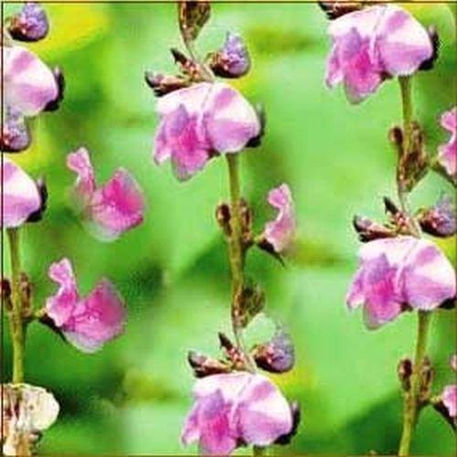 Dolichos biflorus, schnellwüchsige Kletterpflanze, 10 frische Samen