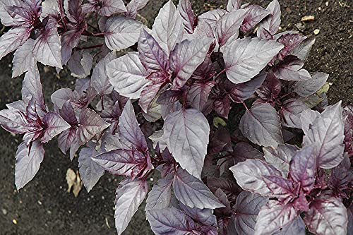 Basil Dark Opal - Basil - 20+ seeds - BEAUTIFUL and FRAGRANT!