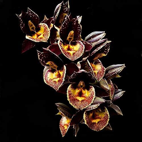 Orquídea Catasetum Amandowa x karen Armstrong