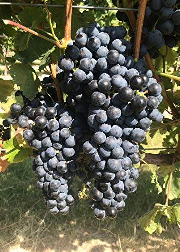 Tempranillo CL07 Castillo - Certified Grafted/1103P - Plantable Year Round!