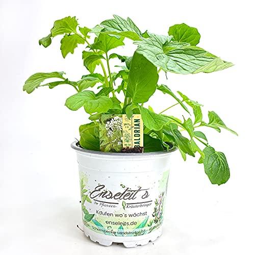 Baldrian, Valeriana officinalis, Baldrian Pflanze aus Nachhaltigem Anbau