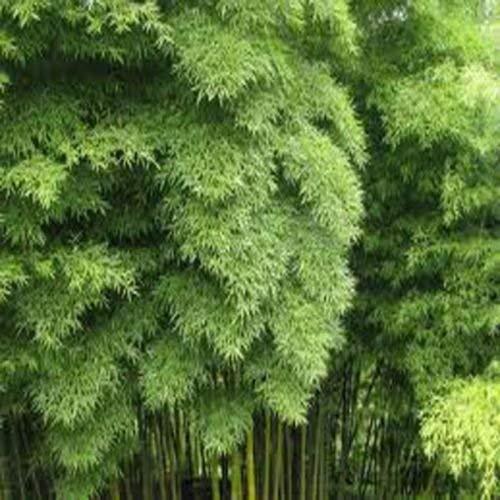 100 graines de bambou Moso Bambou Phyllostachys pubescens géant