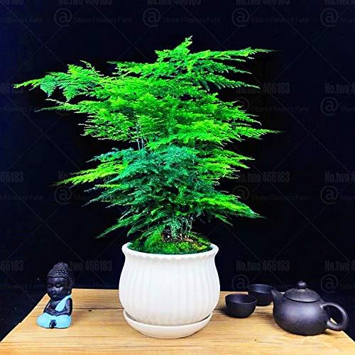 20pcs Asparagus Bonsai Spitze Farn Blume Bonsai Evergreen Zimmerpflanzen Wolke Kiefer für Pflanzen Hausgarten Bonsai vergossen