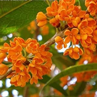 Red Sweet Olive - Osmanthus fragrans 5 seeds fragrant