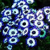 Tomasa Samenhaus- Seltene blaue Gänseblümchen Samen Blumen saatgut winterhart mehrjährig