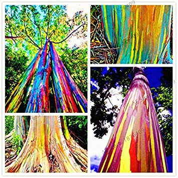 GEOPONICS 100pcs / bag seltene Regenbogen-Eukalyptus-Samen, Bonsai-Samen Samen vergossen Hof Samen für Samen Hausgarten, einfach anzubauen