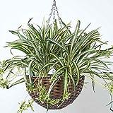 HOMESCAPES Panier à Suspendre Plante Artificielle Chlorophytum, Plante Artificielle tombante Chlorophyton chevelu,...