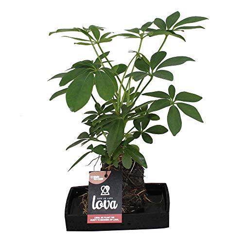 """Schefflera Arrangement\""""LOVA\"""", Pflanzen im wasserspeichernden Lavastein"""