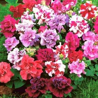 Gartenpetunie mit Blüten voller Polka F2-50 Samen