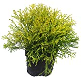 Chamaecyparis pisifera filifera aurea nana - Gelbe Fadenzypresse