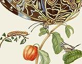 Maria Sibylla Merians Schmetterlinge - Gstebuch