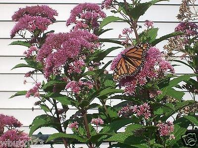 Eupatorium- Joe Pye Weed, semillas de flores, una de las plantas nativas más versátil!