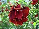Erythrina crista-galli, Korallenbaum, rote, langanhaltende Blüte!!