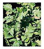 Semillas de mostaza negra - verduras - brassica nigra - idea de regalo original - las mejores semillas de plantas - flores - frutas raras - semillas aproximadamente - excelente calidad