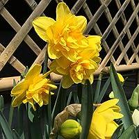 水仙球根&歴史的なハーディ壮大な結婚式の甘い優雅な花の春の植栽,10球根