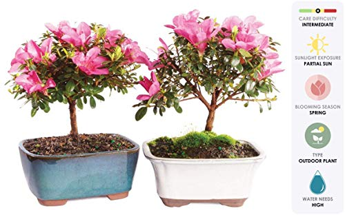 Brussel's Live Satsuki Azalea Outdoor Bonsai Tree (2 Pack) - 5 Years Old; 6' to 8' Tall with Decorative Container