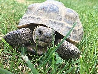 Tortoise Grazing Mix Grow for Herpetology, Leopard & Other Grazer Torts bin282 (28,000 Seeds, 2oz)