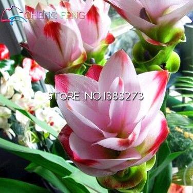 Pinkdose® Verkauf 20 Bonsai Kurkuma Curcuma Longa Heilsaatn saatn Einfach Zu Wachsen Garten Frische Bonsai Tpfe bonsai Pin: