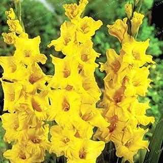 Perennial Gladiolus Flowerfor Germination Diy Home Garden Decoration 70 Pcs/Bag Seeds