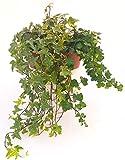 EDERA VASO 13 CON STRASCICO MIN. 50CM VERDE, VARIEGATA BIANCA E VARIEGATA GIALLA, piante vere