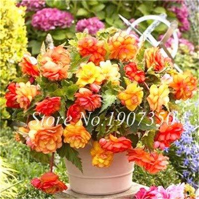 Virtue Lot de 50 pots de bonsaï Mélange de fleurs Begonias Beaux Bonsaï Multi Rabats Décoration Maison Mini Jardin Pot Pot de 10
