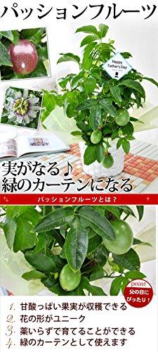 『花由 父の日限定 パッションフルーツ 実付き(5号 鉢植え)』の2枚目の画像
