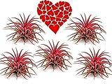De las Madres Día, Día San Valentín Flores, para Mamá, Ella Día Especial Regalo - Tillandsia Rojo X 5 No Tierra Necesita