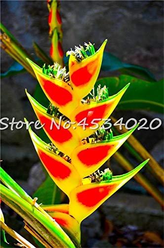 SANHOC Große Förderung! 100 Stück Heliconia Pflanze Bonsai, Staudenblumenpflanzen, Semillas de Plantas Raras, Natürliches Wachstum für Hausgarten