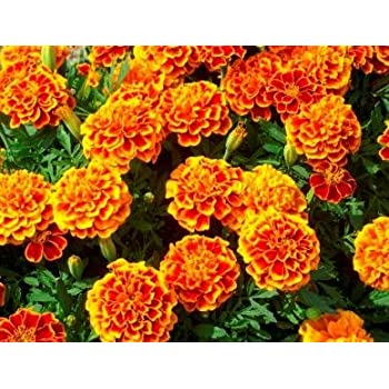 French Marigold Sparky Mix Seeds, Over 5,000 Seeds by Seeds2Go