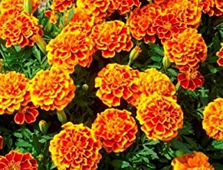 Best french marigold dwarf Reviews