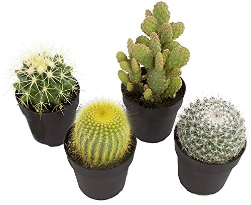 Altman Plants Assorted Live Cactus Collection mini real cacti for planters or gifts, 2.5 Inch,4 Pack