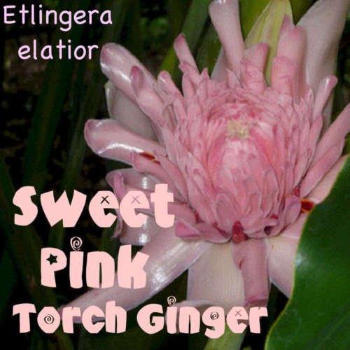 ~ ROSE BONBON TORCH GINGER Etlingera elatior RARE Thai Zingiberaceae 15 Graines