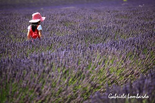 Portal Cool Provence Lavande - Vera Highland Valensole, 100 selectionnéES graines