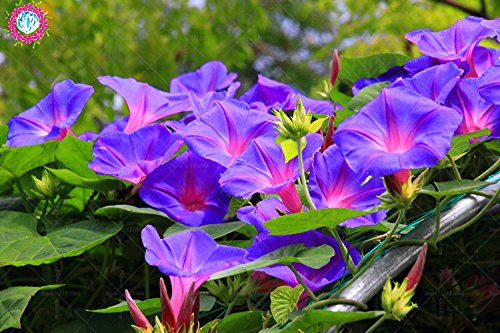 100 pcs/sac à double pétales graines de pétunia graines de fleurs bonsaï fleurs court jardin hauteur des graines de pot de plante d'intérieur ou ourdoor 3