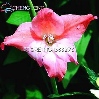 30 semillas / bolsa perenne Gladiolo raros de la flor al aire libre Semillas Espada Lily Lily plantador de bulbos bellos Para plantas del jardín Ver