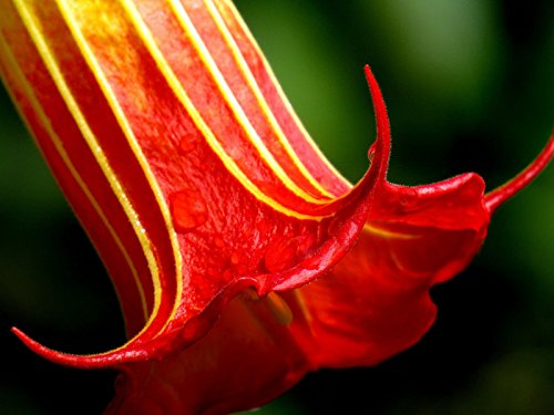 Brugmansia sanguinea Red | Eagle Tree | Engel Trompete | 12 Fresh Seeds