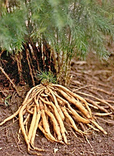10 wilder indischer Spargel Samen, Asparagus racemosus seeds, Shatavari, wichtige Ayurveda und TCM Pflanze